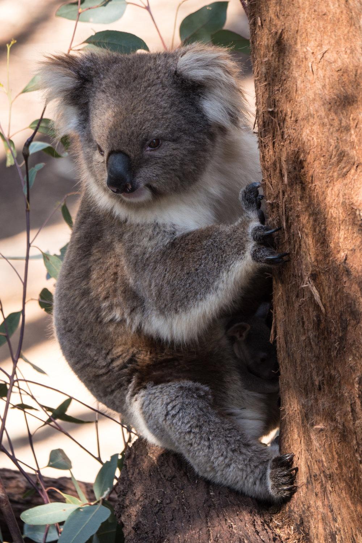 Iconic animals of Australia: Koala at Taronga Zoo. | Photo: Jonathan and Roseann Hanson