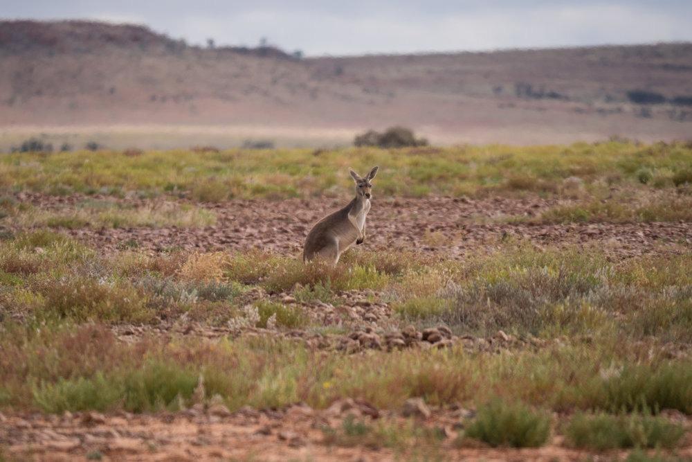 Iconic animals of Australia: Wild kangaroo, Queensland. | Photo: Jonathan and Roseann Hanson