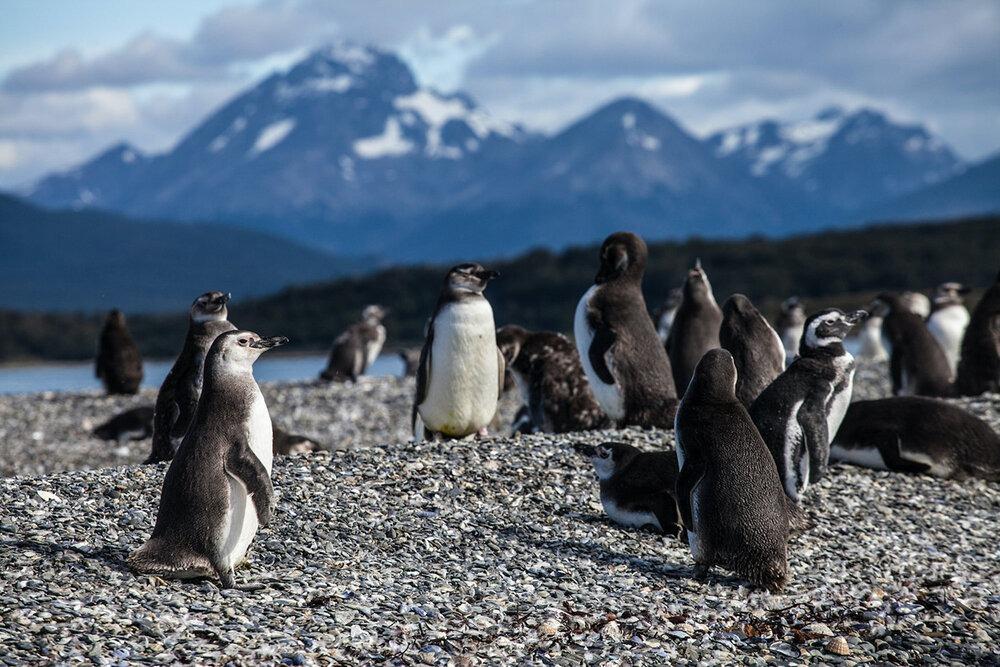 Magellanic penguin rookery at Islas Tierra del Fuego near Estancia Harberton, Ushuaia. The island is just off Argentina's Beagle Channel, with Antarctica looming over the horizon. | Photo: Jonathan & Roseann Hanson