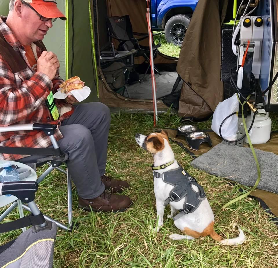 Jack Russel dog staring at man to get food